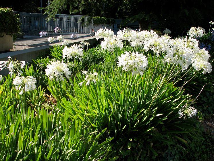 Fiori bianchi agapanto