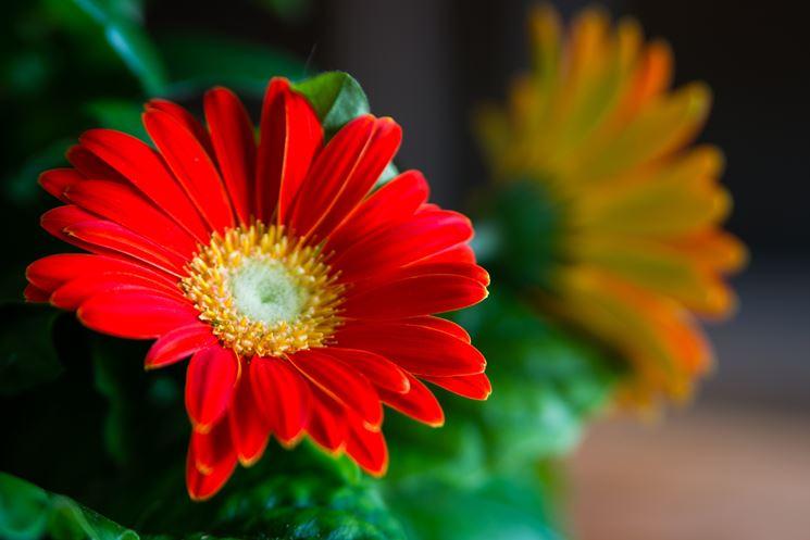 gerbera fiori