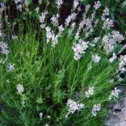 lavanda angustifolia