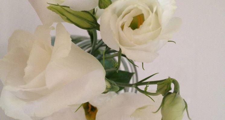 Lisianthus bianchi con boccioli