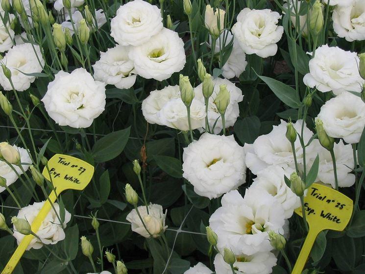 Lisianthus bianco annuale coltivato all'aperto