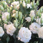 lisianthus bianco