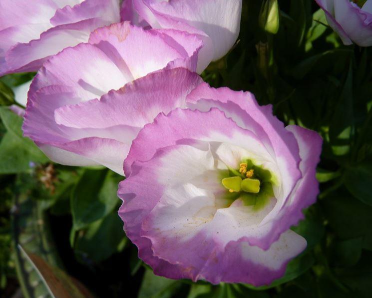 Lisianthus coltivazione vaso