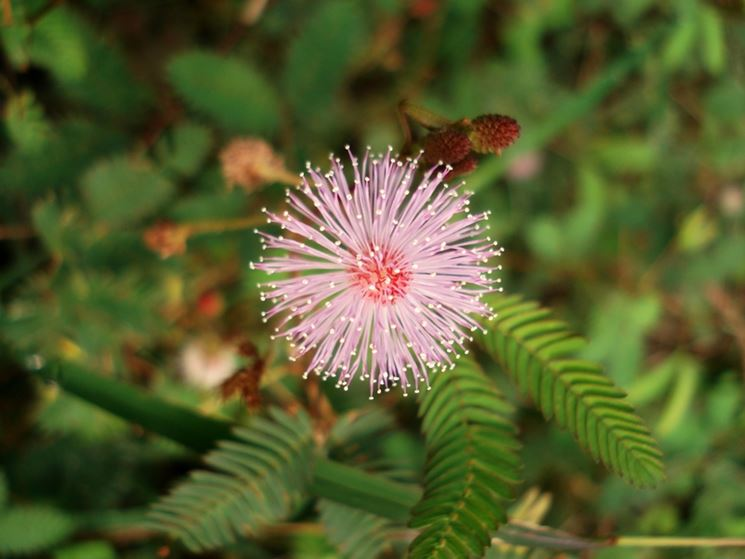 Fiore mimosa pudica