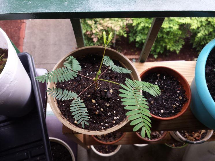 Coltivazione vaso mimosa