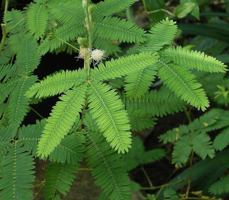 Parassiti pianta mimosa pudica