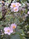 "Anemone hupehensis"""