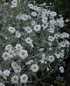 """Cerastium tomentosum"""""""