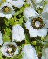 """Codonopsis convolvulacea"""""""