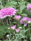 "Chrysanthemum rubellum"""