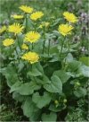 Doronicum pardalianches""
