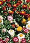 "Helichrysum bracteatum"""