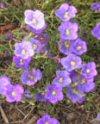 "Nierembergia hippomanica"""