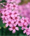 """Oxalis acetosella rosea"""""""
