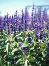 """Salvia farinacea"""""""