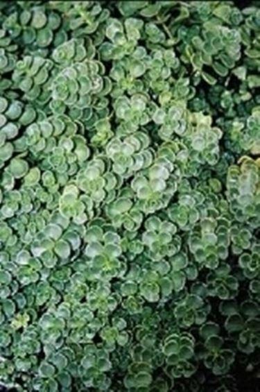 Sedum sedum spurium sedum spurium perenni sedum - Sempreverde da giardino ...