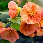 abutilon arancione