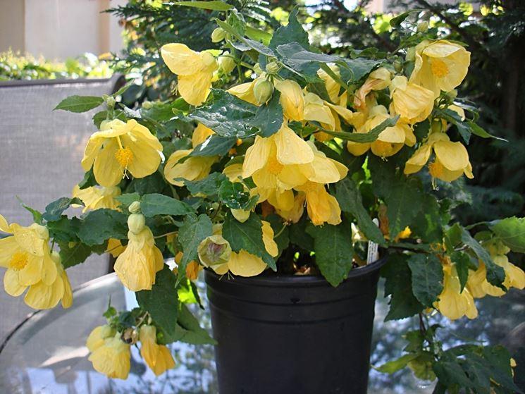 abutilon giallo