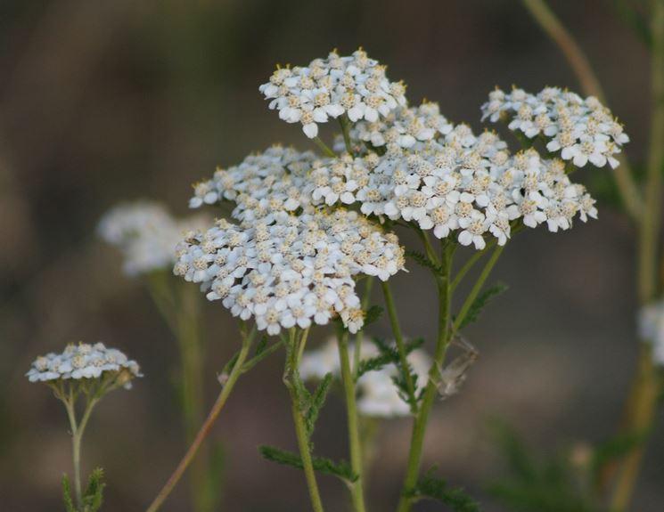 achillea fiori