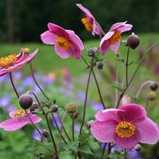 anemone giapponese