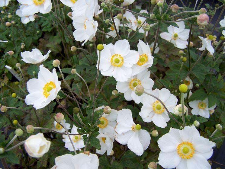 anemone hupenensis honorine jobert
