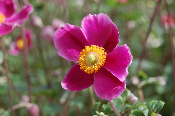 anemone d'autunno