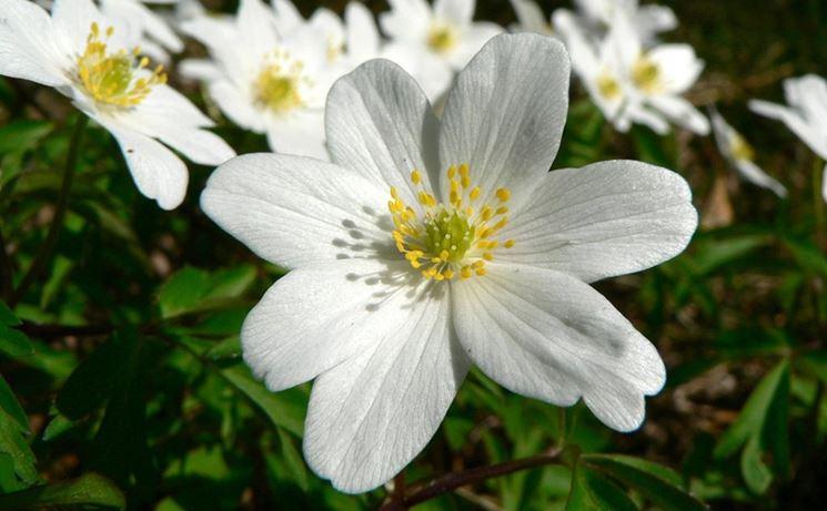 anemone nem
