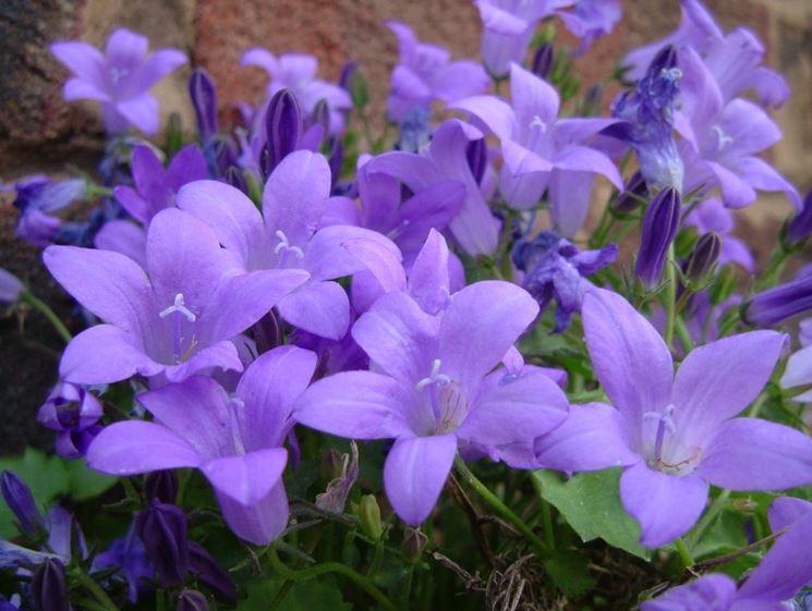 Campanula campanula portenschlagiana campanula for Cespugli fioriti perenni resistenti al freddo