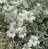 Cerastio cerastium tomentosum cerastium tomentosum - Geranio giallo ...