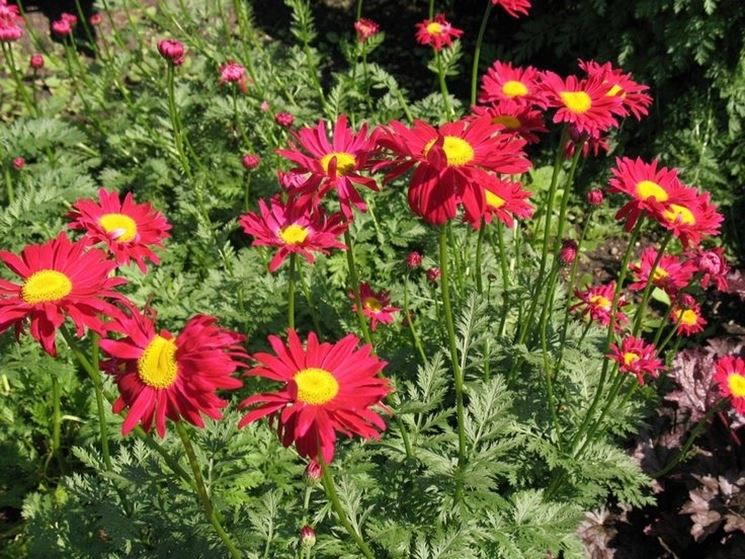 Margherita chrysanthemum coccineum chrysanthemum for Fiori perenni