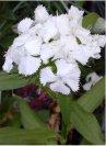 """Dianthus barbatus"""""""