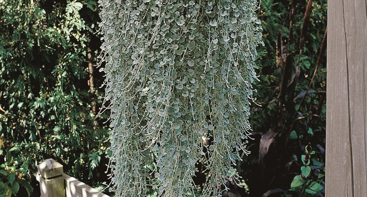 pianta di dichondra