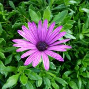 Margherite perenni margherite perenni margherita africana osteospermum dimorphoteca pluvialis thecheapjerseys Image collections