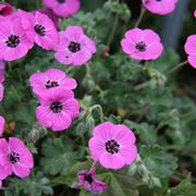 geranium subcaulescens splendens