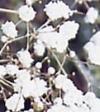 "Gypsophila paniculata"""