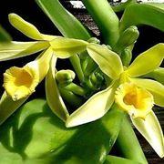 pianta vaniglia