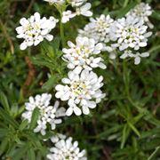 Piante Fiori Bianchi Piccoli.Perenni A Fiore Bianco