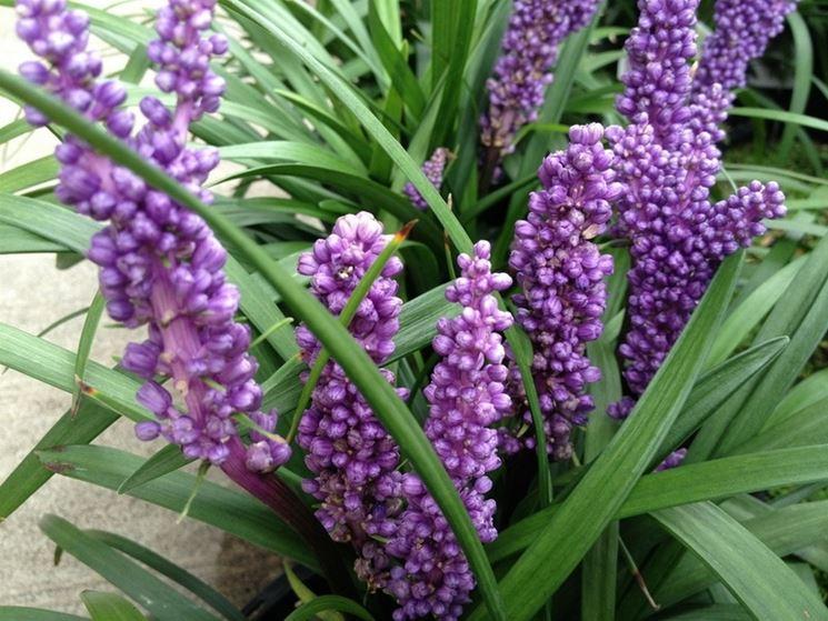 Liriope muscari liriope muscari perenni liriope for Cespugli fioriti perenni da giardino
