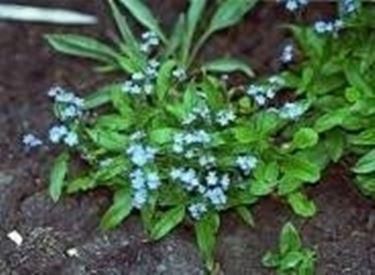 myosotis alpestris snowsylva