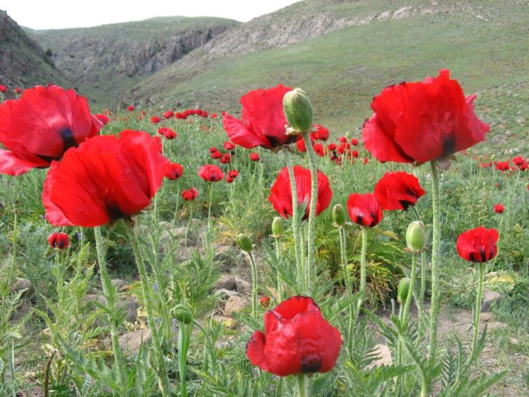 papaver beauty of livermeer