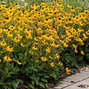 Bellissima perenne dal fiore vistoso e molto colorato, la rudbeckia viene  coltivata da anni nel nostro Paese come ornamentale