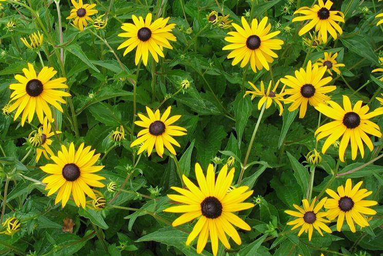 rudbeckia fiori