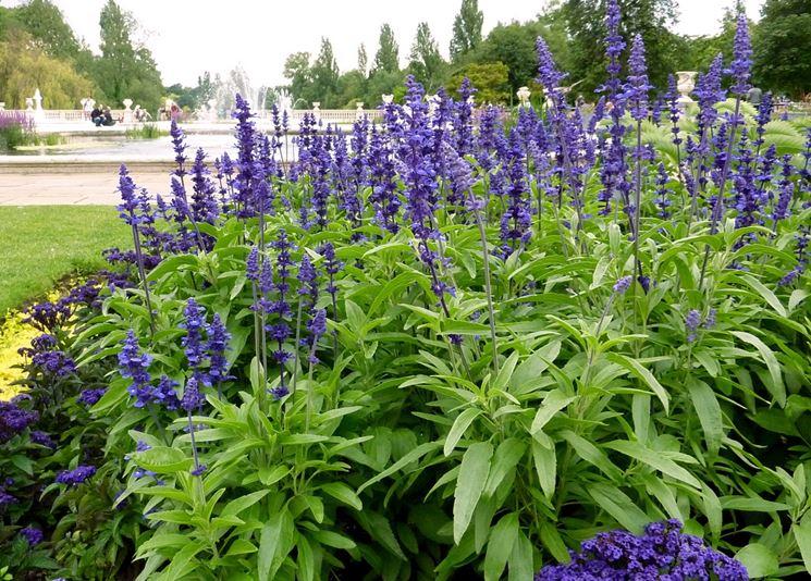 Salvia blu