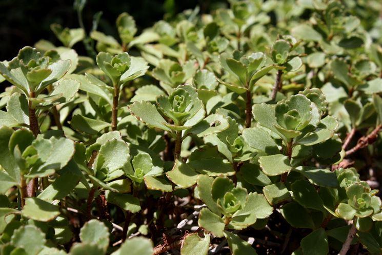 pianta di sedum