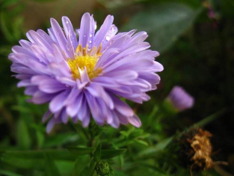Settembrini aster naovae angliae perenni astri - Settembrini fiori ...