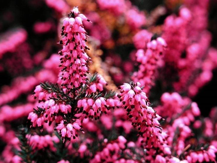 Particolare dei fiori di erica