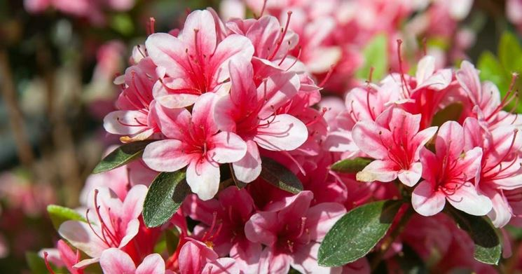 Azalea rosa