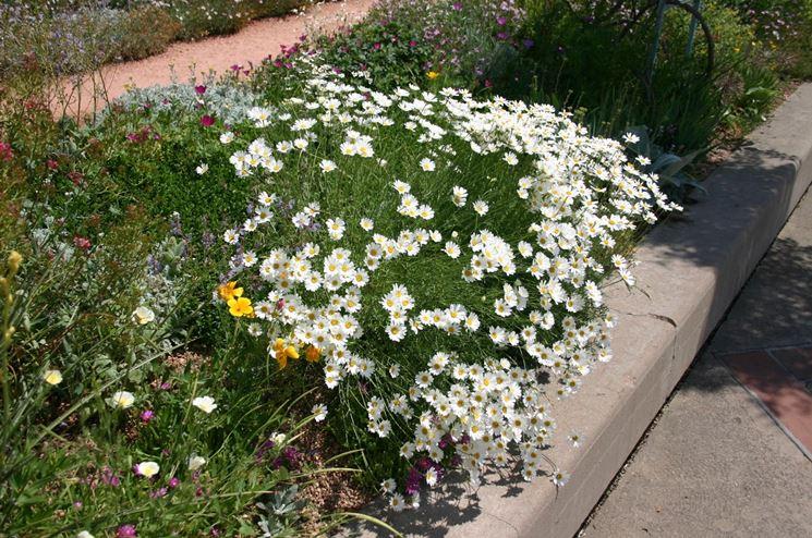 fiori piretro