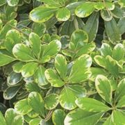 Pitosforo foglie variegate