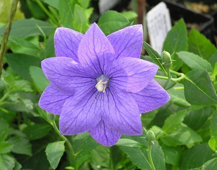 Campanula grandiflora fiore